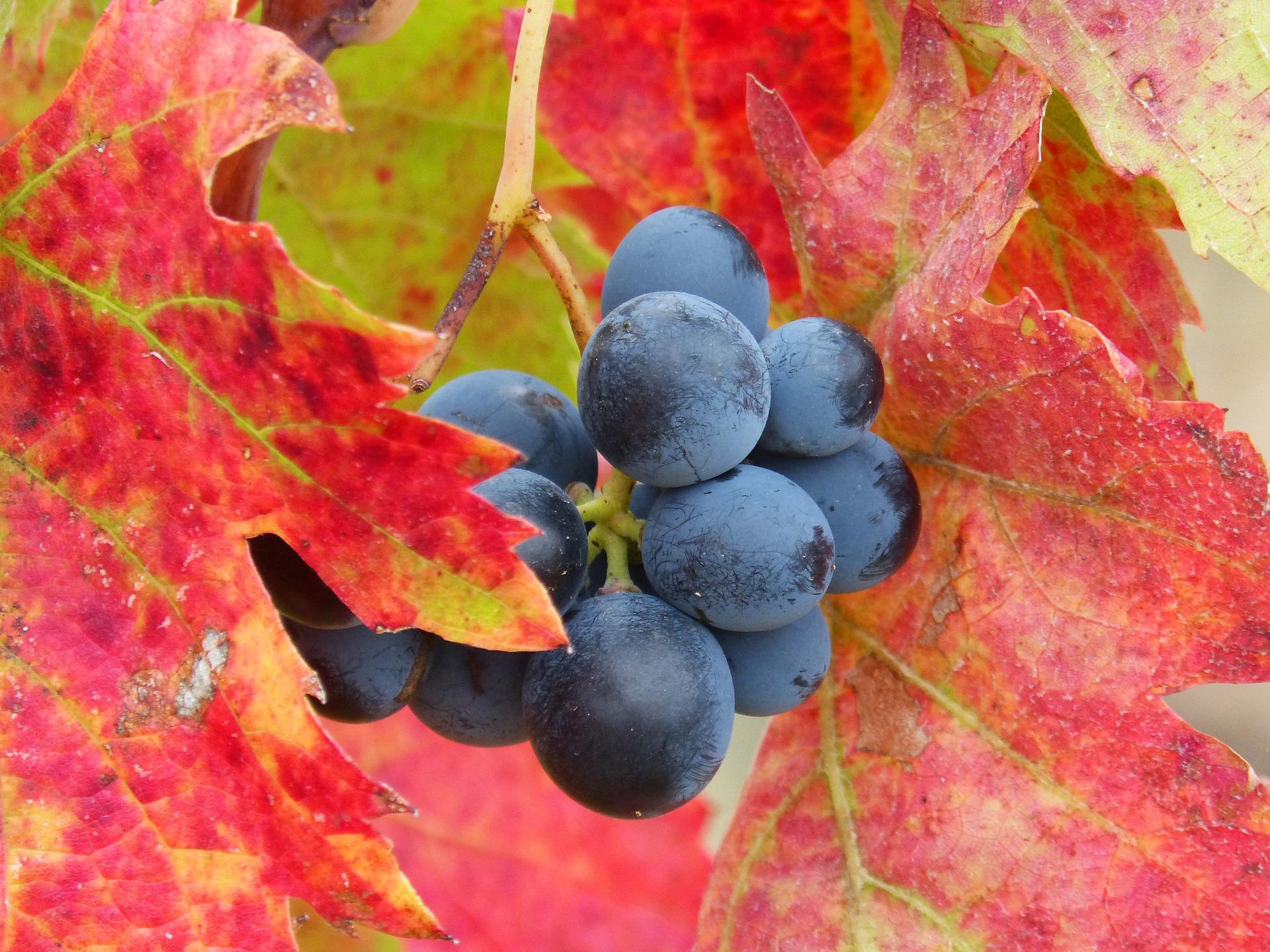 Grape 1783250 1920